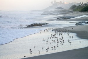 Plovers/Wind & Sea Beach, La Jolla